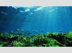 La especie marina Posidonia se encuentra amenazada por el
