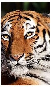 Rare Siberian Tiger Caught After Attacking A Villager In ...