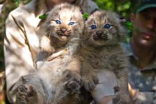 how many cats are in the world cats the canadian lynx kimcion