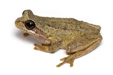 File:Brown Tree Frog 2.jpg - Wikipedia