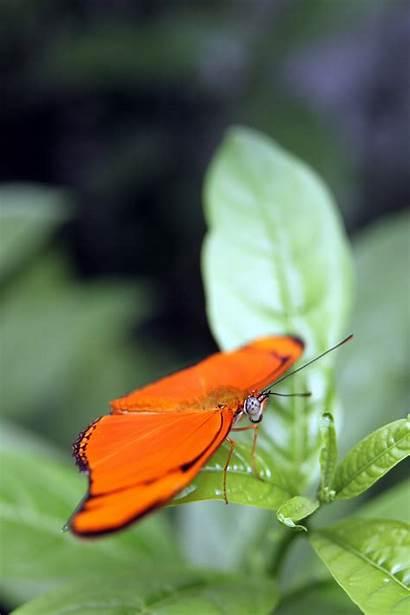 Longwing Julia Butterfly Butterflies Exotic Bottom Landscapes