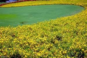 Lantana Plant and Flower HGTV