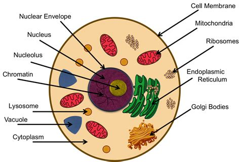 teaching  cells  functions  organelles