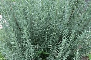 Lavande Anti Moustique : 9 plantes qui vous d barrasseront des moustiques cet t truc et astuce ~ Nature-et-papiers.com Idées de Décoration
