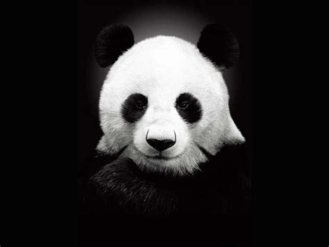 Top Free Cool Panda Backgrounds