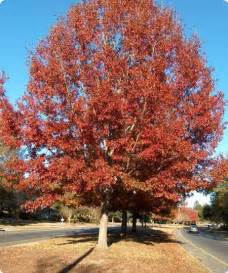 northern oak tree seeds tree seeds for sale