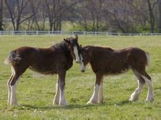 clydesdales images big horses pretty horses