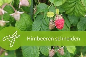 Wann Himbeeren Pflanzen : himbeeren schneiden anleitungen f r beide sorten ~ Lizthompson.info Haus und Dekorationen