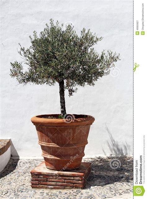 terreau pour olivier en pot olivier dans le pot de fleurs de terre cuite de vintage photo stock image 46955927