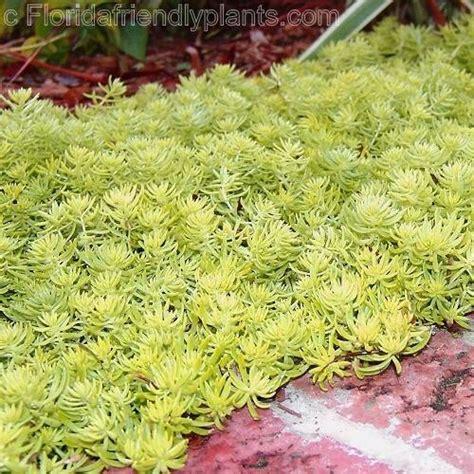 sedum florida friendly gold is a winner for your garden