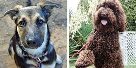 utterly gorgeous labrador mixes     life