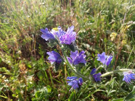 Poze : floare violet, natură, câmp de flori, verdeaţă, planta cu flori, flori sălbatice, familia ...