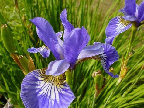 purple flowers all photos gallery purple flower pictures pictures of purple flowers
