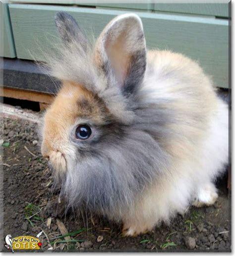 lionhead rabbit colors otis lionhead rabbit bunnies my