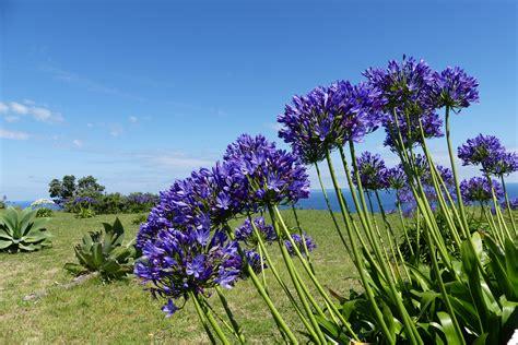 afrikanische lilie überwintern azoren afrikanische lilie schmucklilie foto bild world landschaft blumen bilder auf