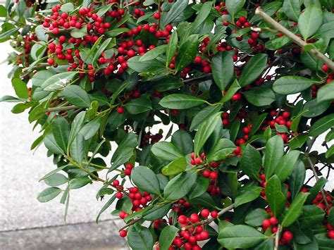christmas plants images christmas plants can last for years tbo com
