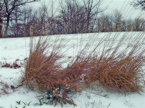 decorative grass in snow free stock photo public domain