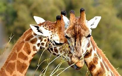 Giraffe Background Desktop Wallpapers Resolution Screen Giraffes