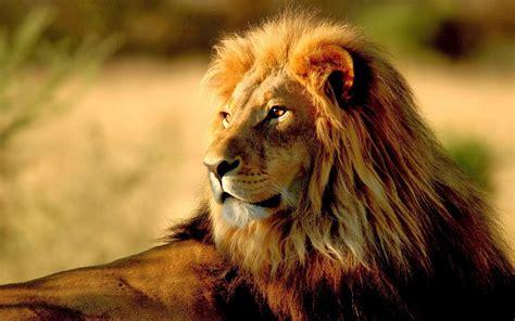 csd mx los ultimos anos de los leones de africa occidental