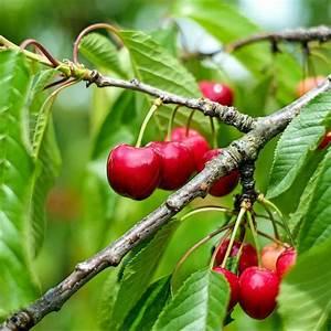 Taille De Cerisier : cerisier 39 bigarreau summit 39 taille en quenouille en pot ~ Melissatoandfro.com Idées de Décoration