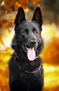 Black German Shepherd | www.pixshark.com - Images ...