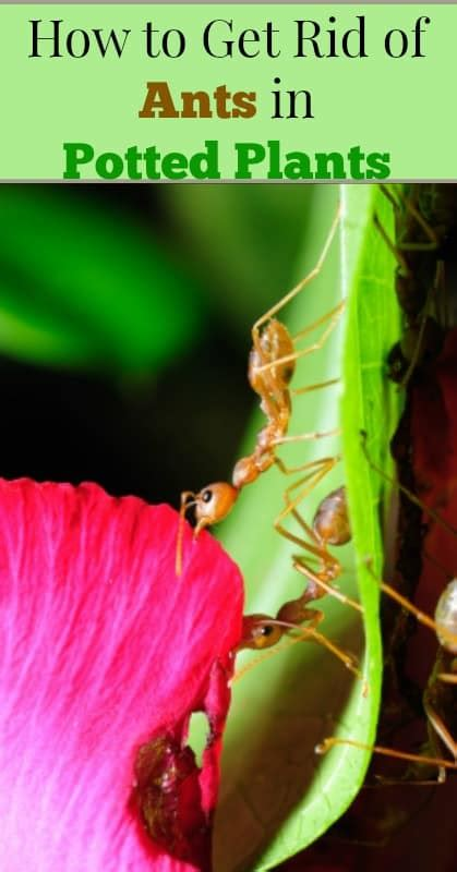 how to get rid of small ants in kitchen how to get rid of ants in potted plants our small hours