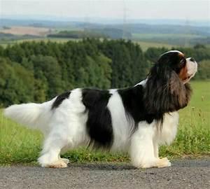 388 best Cavalier King Charles Spaniel images on Pinterest ...
