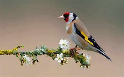 american goldfinch wallpaper 710036