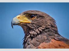 無料の写真 ハリスホーク, Parabuteo Unicinctus, 鳥, 猛禽 Pixabayの無料画像