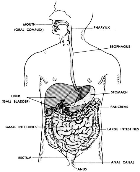 images  digestive system basic human anatomy