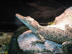 Saltwater Crocodile Facts  Habitat  Bite  Diet  Life Cycle