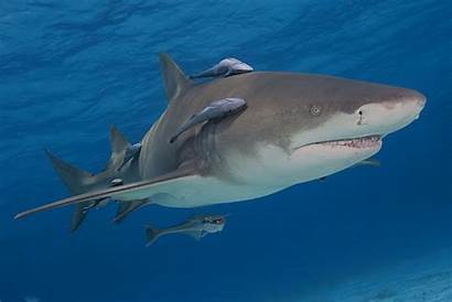 Commensalism Remora Shark Examples Definition Example Fish