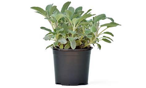 salvia in vaso pianta di salvia a foglia larga axima in vaso 14 savini