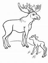 Coloring Moose Pages Printable Sheet Coloringcafe Pdf Whitesbelfast Button Prints Standard Below sketch template