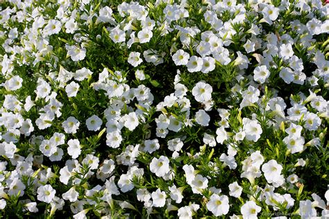 outdoor plants pop rocks white petunia 820414 tangsphoto stock