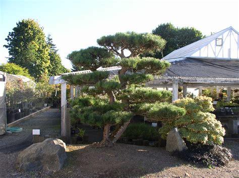 specimen japanese black pines