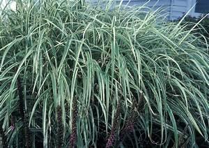 Miscanthus Sinensis Variegatus : miscanthus sinensis chinese silvergrass go botany ~ Eleganceandgraceweddings.com Haus und Dekorationen