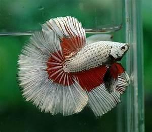 Red silver dragon butterfly   Fancy bettas   Pinterest ...