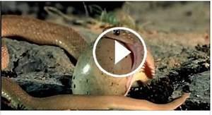 How Small Snake Eating An Egg, Animal Life !! Amazing ...