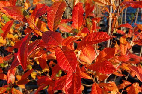 black magnolia top 10 shade trees garden housecalls