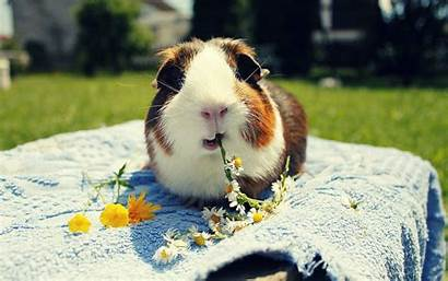 Pig Guinea Wallpapers Christmas Domestic Funny Daisies