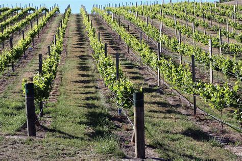 Vineyard Superpost®   Goldpine