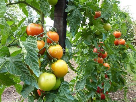 cuisine à vivre tomate conseils de culture et plantation
