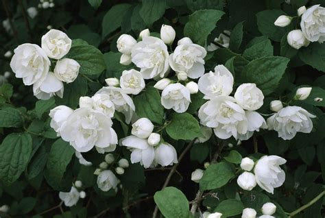 shrub with small white flowers in 10 best shrubs with white flowers
