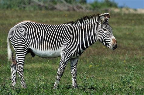zebra grevy projet habitat diet