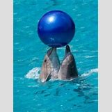 Bottlenose Dolphin Playing With A Ball | 236 x 313 jpeg 13kB