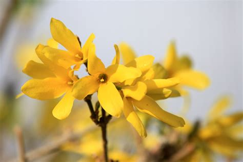 forsythia blossoms picture  photograph