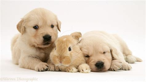 Cute Baby Golden Retriever Puppies Hd And Kittens Litle Pups
