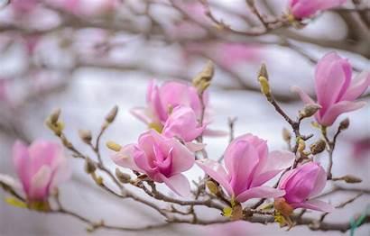 Magnolia Spring Pink Branch Wallpapers Desktop Macro