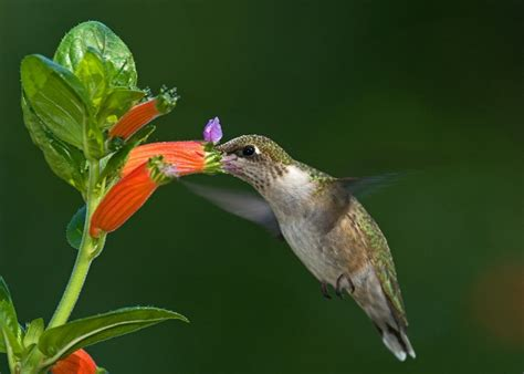 cigar plant hummingbirds 313 best images about birds butterflies on pinterest finches hummingbirds and woodpeckers